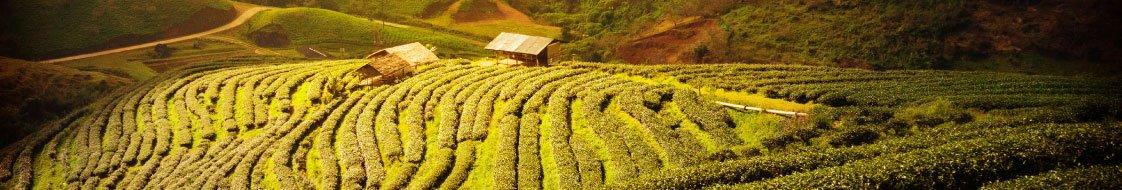 gelb3 Gelber Tee ist die seltenste aller Teesorten