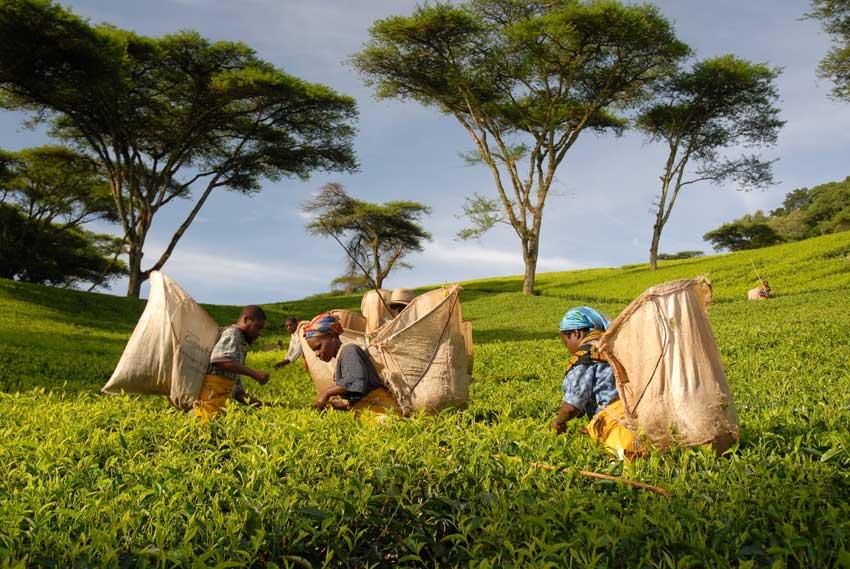Pluckersintrees2 Kleinbauern Initiativen gestalten den Tee Handel nachhaltig und fair und erzeugen beste Teespezialitäten