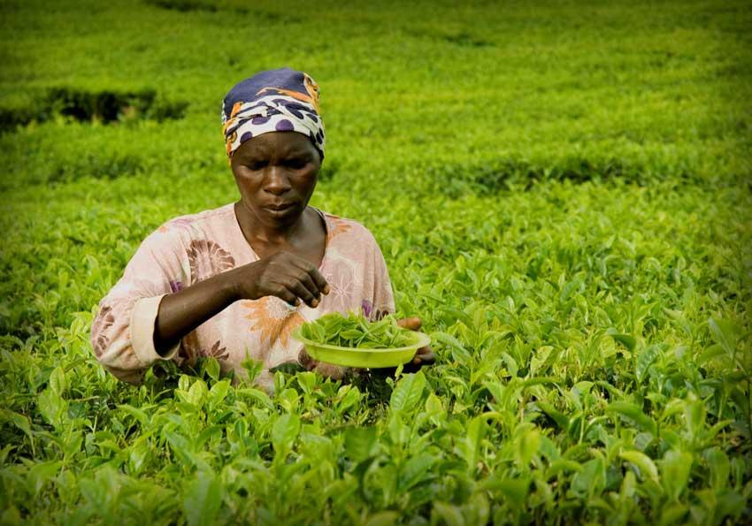 SpecialPlucker-1 Kleinbauern Initiativen gestalten den Tee Handel nachhaltig und fair und erzeugen beste Teespezialitäten