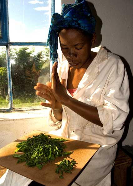 handrolling12 Kleinbauern Initiativen gestalten den Tee Handel nachhaltig und fair und erzeugen beste Teespezialitäten