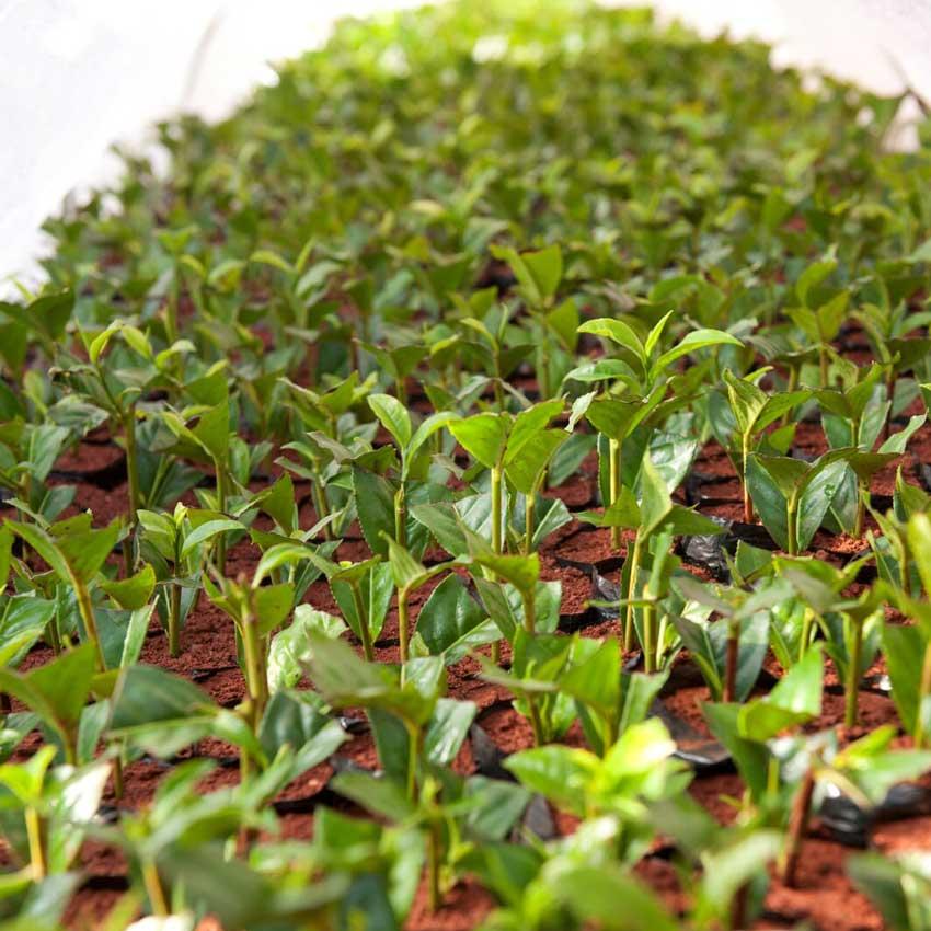 nursery3-1 Kleinbauern Initiativen gestalten den Tee Handel nachhaltig und fair und erzeugen beste Teespezialitäten
